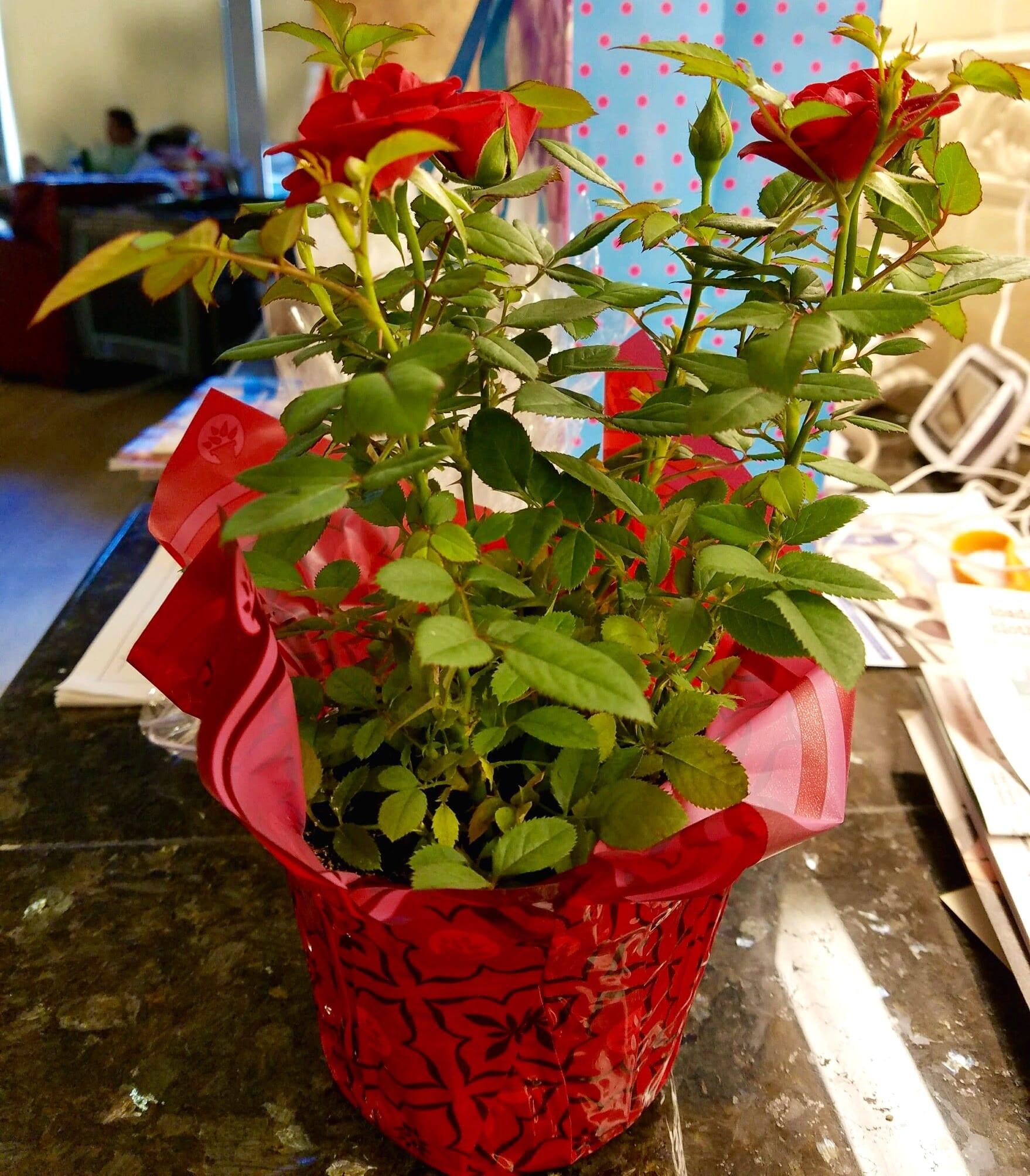 mini-rose-plant