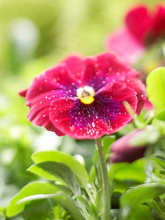 Pansy, Flowers, fall flowers