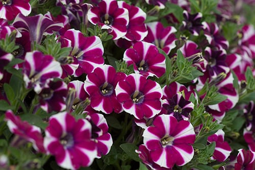 Petunia, fall flowers, plant fall flowers