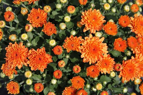 Chrysanthemum, fall flowers