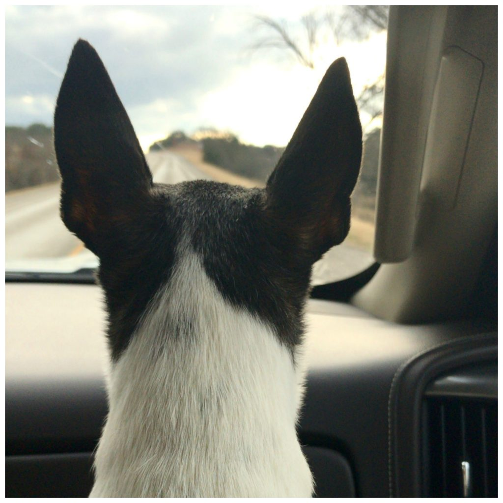 the back of the head of a Toy Fox Terrier