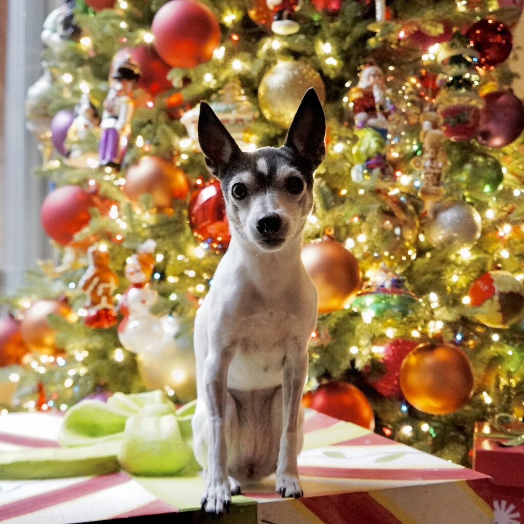 Miss Pippa sitting on a package in front of Christmas tree